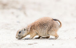 Black-Tailed prairie dog in it's natural habitat Stock Image