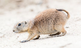 Black-Tailed prairie dog in it's natural habitat Stock Photography