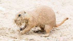 Black-Tailed prairie dog in it's natural habitat Stock Photo