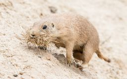 Black-Tailed prairie dog in it's natural habitat Royalty Free Stock Images