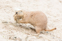 Black-Tailed prairie dog in it's natural habitat Stock Images