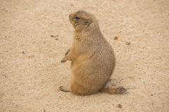 Black-Tailed prairie dog sitting on the sand, Cynomys ludovician Stock Image