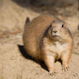 Black-tailed prairie dog sitting in the sand Stock Image