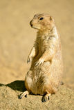 Black-tailed Prairie Dog standing on rock Royalty Free Stock Images