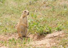 Black-tailed Prairie Dog standing up Royalty Free Stock Photos