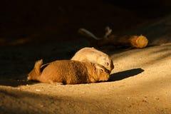 Black-tailed prairie dog Stock Photography