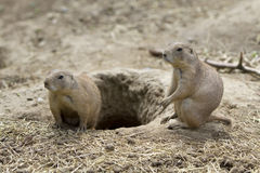 Black-tailed Prairie Dog Royalty Free Stock Photos