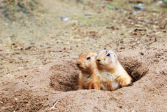 Black-tailed Prairie Dogs Royalty Free Stock Photos