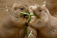 Black-tailed Prairie Dogs Stock Photo