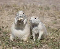 Black-tailed Prairie Dogs Stock Photography
