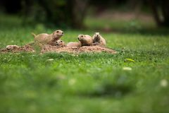 Black tailed prairie dogs royalty free stock images