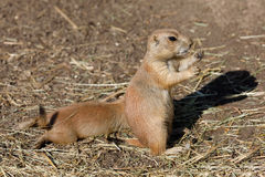 Free Black-tailed Prairie Dogs Cynomys Ludovicianus Stock Images - 99193754