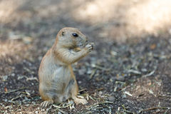 Black-tailed prairie dogs Cynomys ludovicianus Royalty Free Stock Image