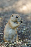 Black-tailed prairie dogs Cynomys ludovicianus Royalty Free Stock Photo