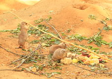 Black-tailed prairie dogs Stock Images