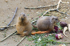 Black-tailed prairie dogs. The black-tailed prairie dog (Cynomys ludovicianus) eating vegetables Stock Photo