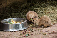 Black-tailed prairie dogs eat fruit Stock Images