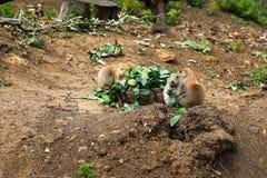 Black Tailed Prairie Dogs Eating Broccoli Royalty Free Stock Photos