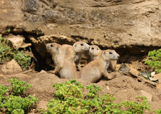 Black-Tailed Prairie Dogs Royalty Free Stock Images