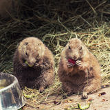 Black-tailed prairie dogs feeding Royalty Free Stock Image