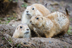 Black Tailed Prairie Dogs Royalty Free Stock Image