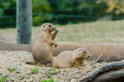 Black Tailed Prairie Dogs Royalty Free Stock Photo