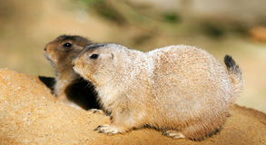 Black-tailed prairie dogs Royalty Free Stock Image