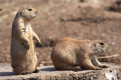 Black tailed prairie marmot Royalty Free Stock Image
