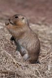 Black-tailed Prairie Marmot Stock Image