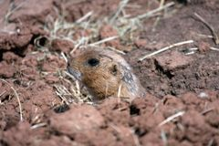 Black-tailed Prairie Marmot Stock Photo