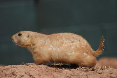 Black-tailed Prairie Marmot - Cynomys ludovicianus Royalty Free Stock Photo