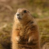 Black-tailed Prairie Marmot - Cynomys ludovicianus Royalty Free Stock Images