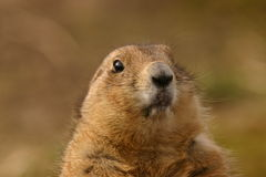 Black-tailed Prairie Marmot - Cynomys ludovicianus Royalty Free Stock Photo
