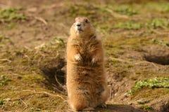 Black-tailed Prairie Marmot - Cynomys ludovicianus Stock Photo