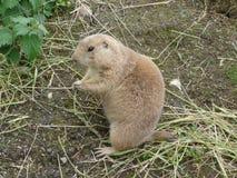 Black-tailed Prairie Marmot - Cynomys ludovicianus Royalty Free Stock Image