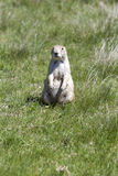 Black-tailed Prarie Dogs Royalty Free Stock Images