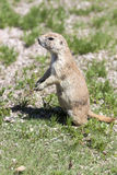 Black-tailed Prarie Dogs Stock Photography