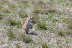 Black-tailed Prarie Dogs Royalty Free Stock Photo