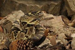 Black-Tailed Rattlesnake Royalty Free Stock Images