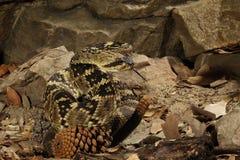 Black-Tailed Rattlesnake Stock Photography
