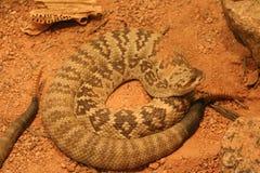 Black-tailed rattlesnake Royalty Free Stock Image