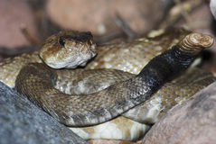 Black tailed rattlesnake coiled to strike. Black tailed rattlesnake, Crotalus molossus coiled to strike in Cherry Creek, Arizona royalty free stock photos