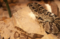 Black-tailed Rattlesnake Royalty Free Stock Photography