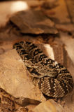 Black-tailed Rattlesnake Royalty Free Stock Images