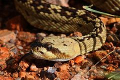 Black-tailed Rattlesnake (Crotalus molossus) Stock Photography