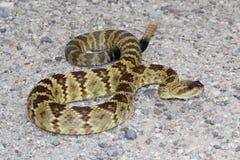 Black-tailed Rattlesnake (Crotalus molossus) Royalty Free Stock Image