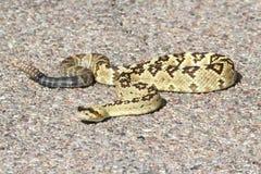Black-tailed Rattlesnake (Crotalus molossus) Royalty Free Stock Photo