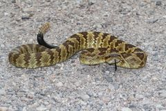 Black-tailed Rattlesnake (Crotalus molossus) Stock Images