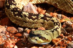 Black-tailed Rattlesnake (Crotalus molossus) Royalty Free Stock Photography