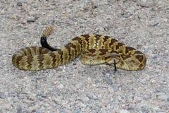 Black-tailed Rattlesnake (Crotalus molossus) Stock Image